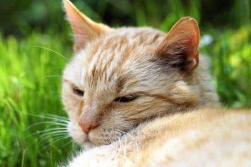 猫的几大品种_猫种类大全及名称