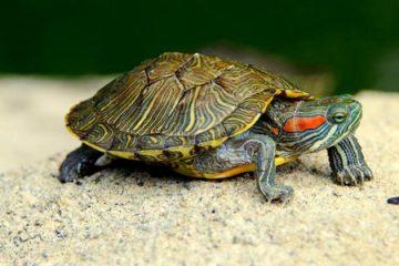 最可爱的乌龟十大排名_宠物龟排名